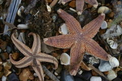 Stranded starfish on beach. Two starfish curling up their toes after being stranded on the beach after a storm. Background is pebbles and seashells from the Stock Image