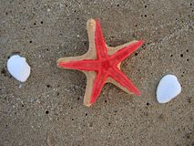 Two starfish on sandy beach Royalty Free Stock Image
