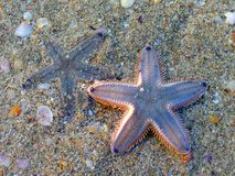 Two starfish Royalty Free Stock Photos