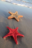 Two starfish on sandy beach Royalty Free Stock Images