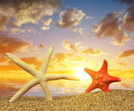Two starfish on sandy beach Royalty Free Stock Photography
