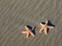 Two Starfish with Shadows Royalty Free Stock Image