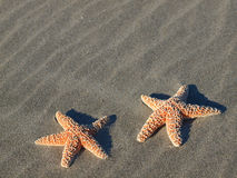Two Starfish with Shadows Stock Images