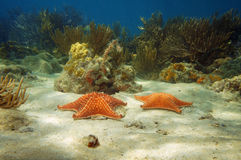 Two starfish underwater with corals Stock Photos