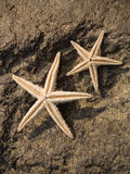 Two starfishes on rock Royalty Free Stock Photos