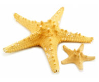 Two starfishes (small and big) isolated. On a white background Royalty Free Stock Photography