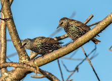 Starlings on a limb stock image