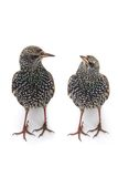 Two Starling Stock Photo