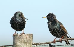 Two Starling Sturnus vulgaris one perched on a post and the other on a bramble facing each other. Two stunning Starling Sturnus vulgaris one perched on a post Stock Image