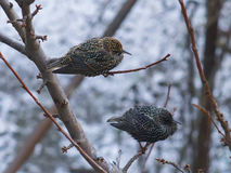 Two starlings on branch of tree. Two starlings on the branch of tree Stock Photo