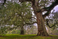 Two Stately Oak Trees. With Spanish Moss and lichen covered trunks photographed in Brazos Bend State Park in Southeastern Texas Stock Photo