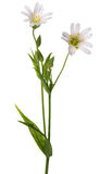 Two Stellaria flowers isolated on white Stock Photos