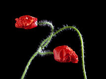 Two still closed poppy flowers entwined Royalty Free Stock Images