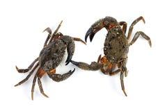 Two stone crab (Eriphia verrucosa) Royalty Free Stock Image
