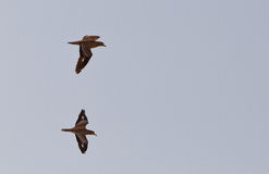 Two Stone Curlews in flight Royalty Free Stock Images