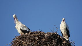 Two stork on a nest pole. Stork couple on a nest pole grooming their feathers stock footage