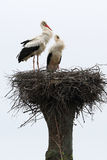 Two stork standing in the nest Stock Image