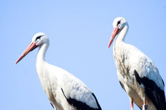 Two storks. Stork couple royalty free stock image