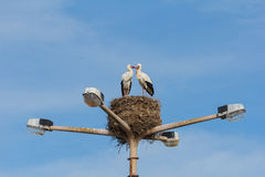 Two storks birds mating on top of a lampstreet in Faro, Algarve Royalty Free Stock Photos