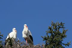 Two storks building a nest royalty free stock photos