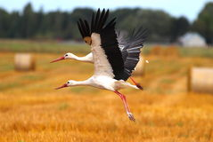 Two storks Royalty Free Stock Photos