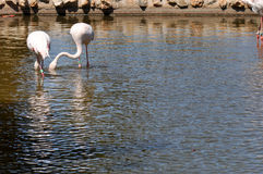 Two storks in the lake Stock Image