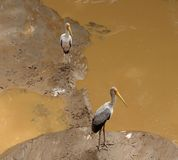 Two Storks on muddy ground Stock Image