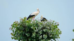 Two storks. In the nature stock video footage