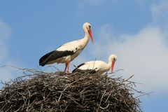 Two storks in a nest Stock Photo