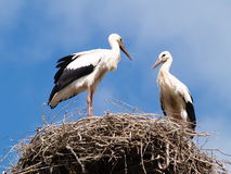 Two storks in the nest. Two white storks in the nest Royalty Free Stock Photo