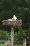 Two storks in nest Royalty Free Stock Photo