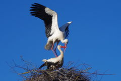 Two storks stock photography