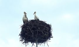 Two storks in the nest against the sky. royalty free stock image