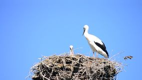Two storks in nest on background of blue sky. One stork is standing and the other one sitting in nest stock video footage