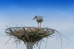 Two storks on the nest Royalty Free Stock Images