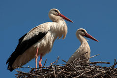 Two storks in the nest-1 Royalty Free Stock Images