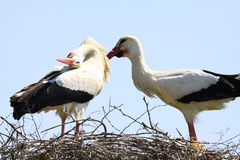 Two storks in a nest on a tree stock image