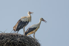 Two storks in the nest Stock Photos