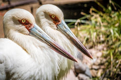 Two storks Stock Images