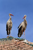 Two storks on a roof Stock Photos