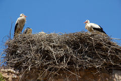 Two storks Royalty Free Stock Image