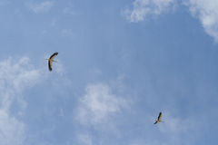Two storks in the sky Stock Image