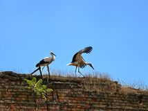 Two storks are standing on the edge of the old wall Royalty Free Stock Photo