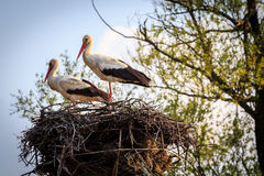 Two storks. Standing in the nest. Beginning of the spring Royalty Free Stock Images