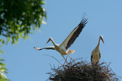 Two storks on their nest Stock Photography