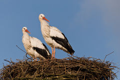 Two Storks on theirs nest Stock Photos