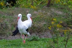 Two storks Stock Image