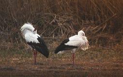 Two Storks Yoga Stock Photos