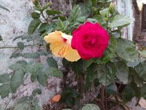 Two story. Red rose lives with guadal Royalty Free Stock Photography