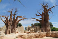 Two strange trees. Two strange big trees without leaf in valencia zoo stones royalty free stock images